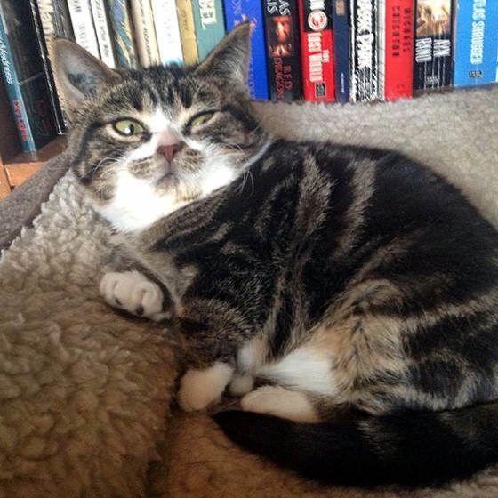 russian bobtail cat