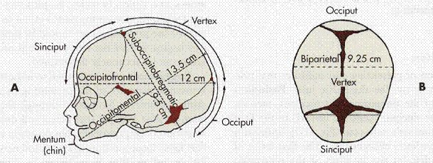 Diameters Of The Fetal Head At Term A Cephalic
