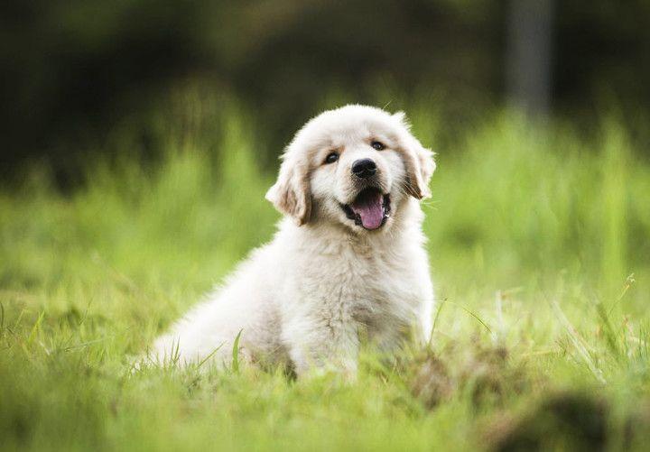 Why Are Pups So Op Dogs Golden Retriever Golden Retriever
