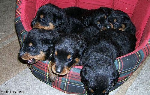 seis filhotes de rottweiler