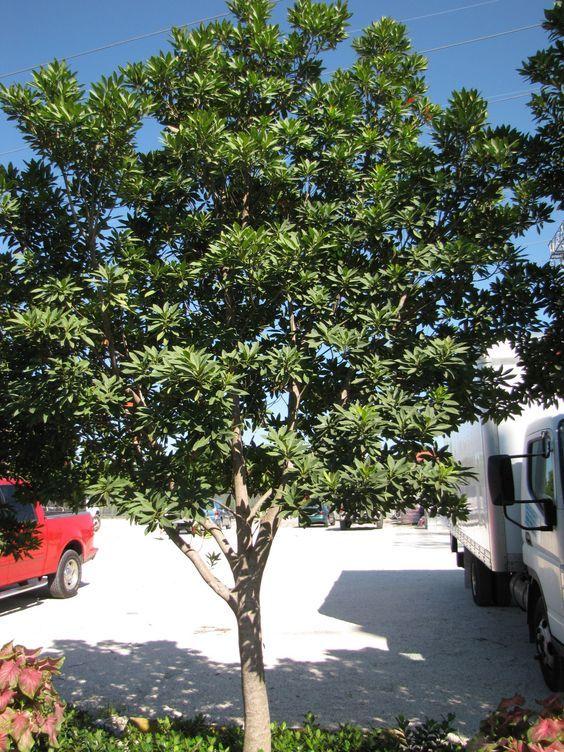 japanese blueberry tree disease bright green price fruitless