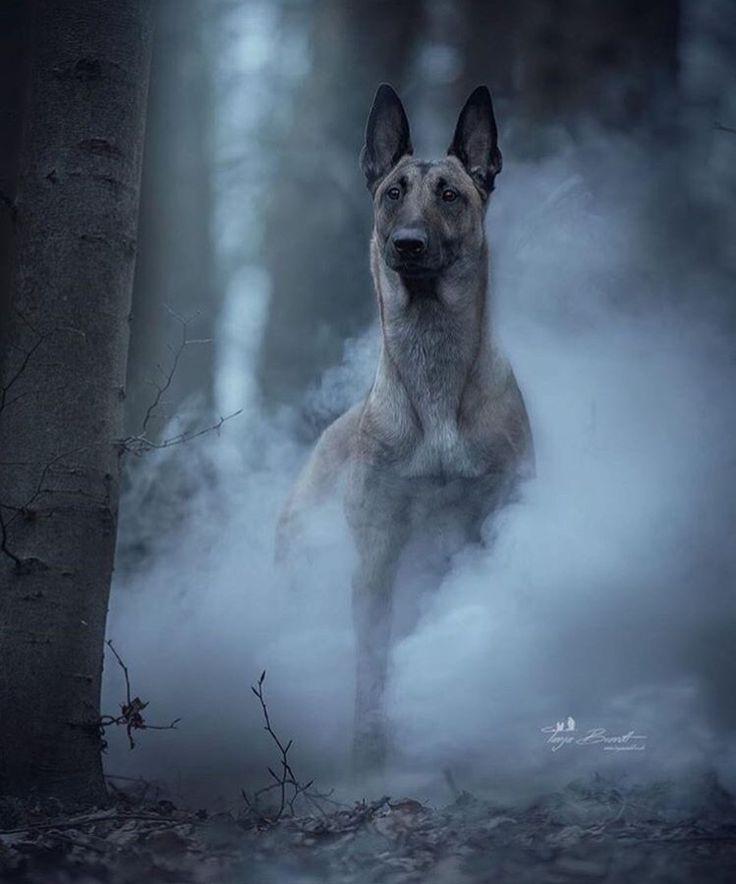 Malinois sind einfach die schönsten Hunde