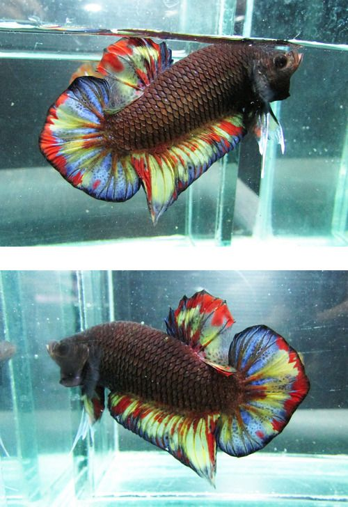 456 best images about betta fish on pinterest copper for Betta tropical fish