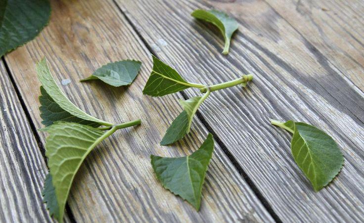 Hortensien durch Stecklinge vermehren - Hortensien sind ideale Gartenpflanzen: Sie bleiben kompakt, tragen große Blüten und blühen mehrere Monate lang. So können Sie die beliebten Blütensträucher durch Stecklinge selbst vermehren.
