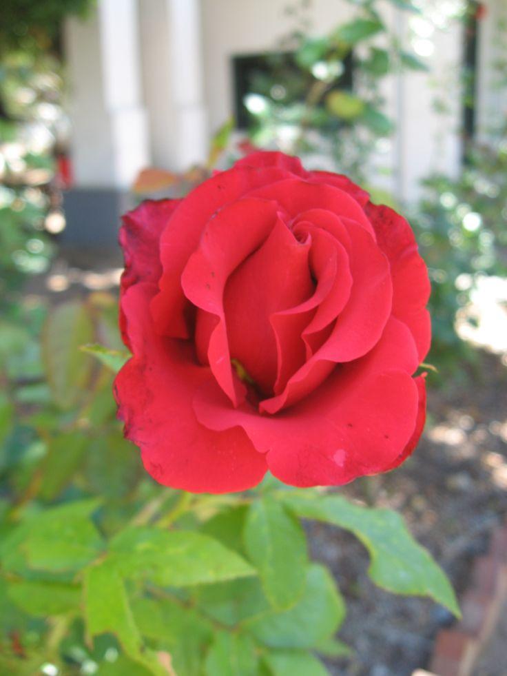 Montagu Museum Rose Garden