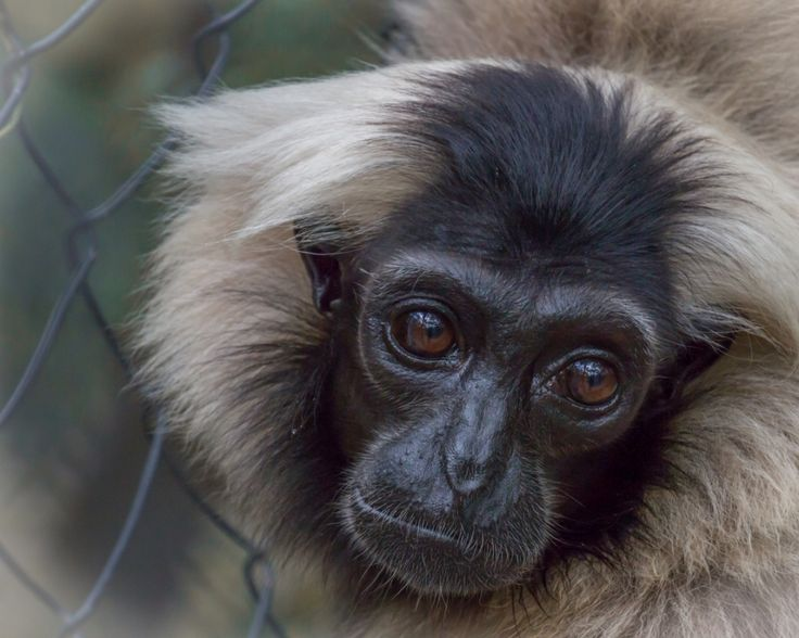 Rescued from the pet trade, Preah is imprinted and cannot be released. She now has a safe and loving home at Phnom Tamao and can be an ambassador for her species, as many visitors fall in love and want to protect gibbons in the wild! #primate #Cambodia
