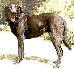El Castro Laboreiro es una raza de perro portuguesa de gran tamaño.    Originario del norte del país, este moloso posee una viva inteligencia.