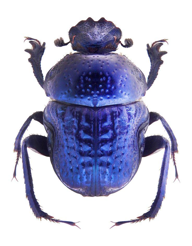 Gymnoplerus cyaneus