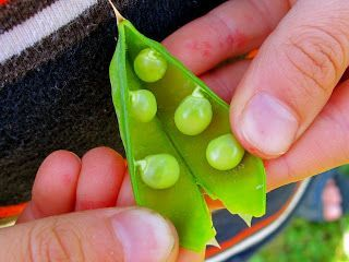 There is nothing better than peas straight from the vine. Learn how to grow peas from seed to enjoy all spring from your garden.