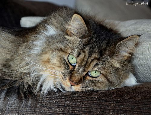 Laila Chill out! Maine Coon - Perser Mix