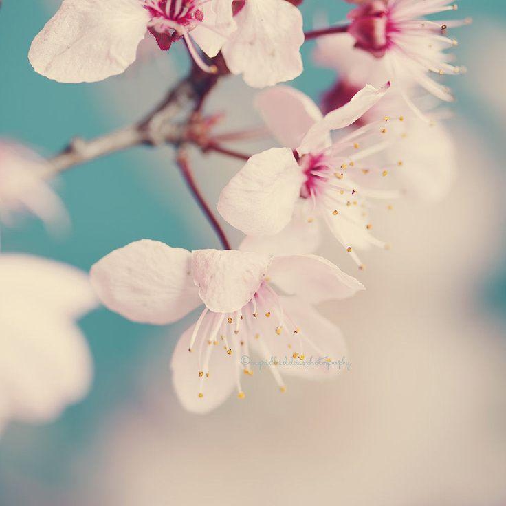 Blume-Fotografie weißer Frühlingsblüten Natur von IngridBeddoes