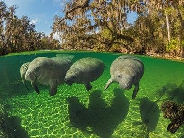 Florida Manatees! Gotta see these when I go.