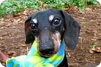 Sweet, sweet Olive is so full of life and so happy to see you! She loves treats and loves to explore. Olive is an 8-year-old Miniature Dac...