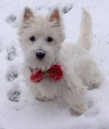 My Westie puppy Cam, at 7 months, in his first snow, he loves it!