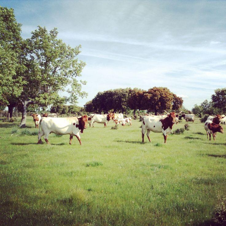 Dehesa de Valdelazarza. Vaca berrenda en colorado  #cabestros #campocharro #salamanca #spain #animals #animales #fauna #flora #toros #campo #horns  #dehesa #cuernos #cows #cowboy