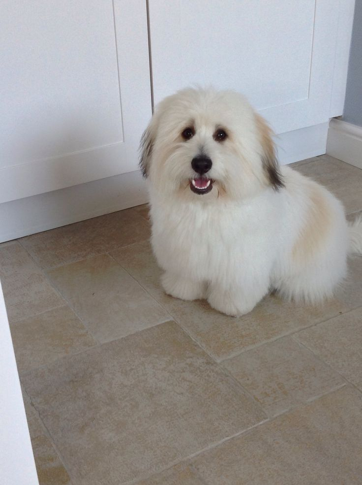 how to groom a coton de tulear puppy cut