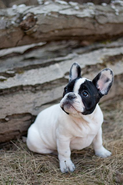 French Bulldog. Hard to find a category for these. But I've always loved them.