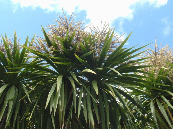 Cordyline australis (ti-kouka, cabbage tree). Described and illustrated in the plant guide of my website http://www.sceneoutside.co.nz