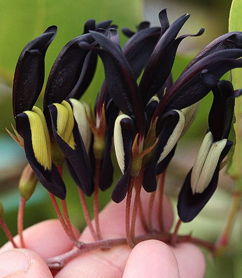 "Kennedya nigricans ~ ""Black Coral Pea"" a truly black flower.. native Australian climber which loves hot, dry climates and grows happily on clay."