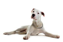 Dogo Argentino is a very popular choice of dog breed to adopt for pet lovers who prefer strong and muscular dogs. They are known for their ferocious watchdog qualities and strong personality. In this following article, we will take you through the basic techniques that are adopted for training this breed.