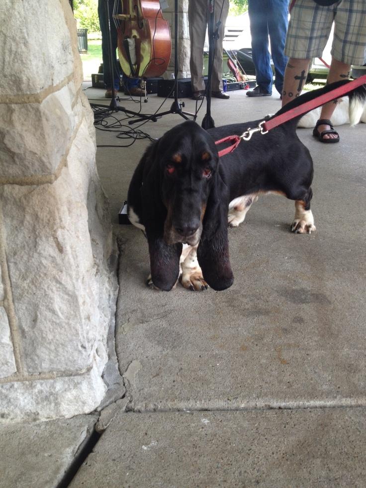 Nice looking Black Basset Hound Rescue!!!