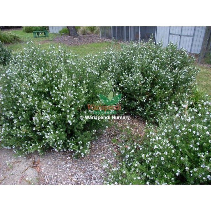 Westringia fruticosa - Coastal Rosemary