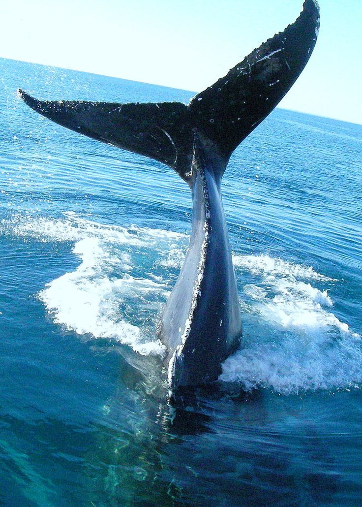 разобрались, хвост кита картинки оба жгута между