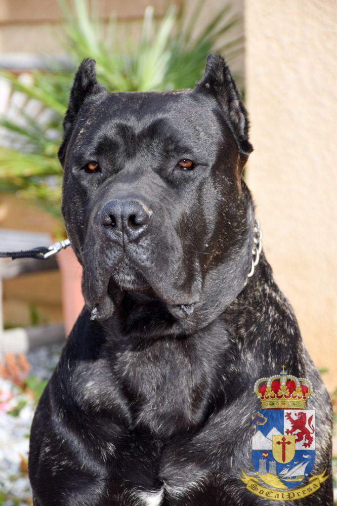 Black Brindle Presa Canario Stud Cane Corso Presa Canario Brindle