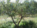 Hard Apple-Pear Cider Recipe