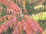 Sumacs: They're Not All Poisonous: Non-poison sumac exhibits fall foliage color earlier than do most plants.