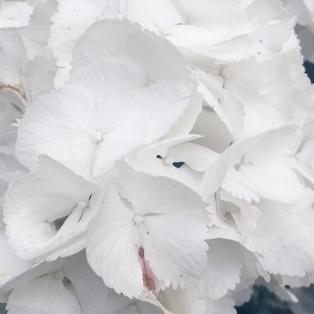 Pretty white hydrangea 🌸💗✨ #flowers #white #hydrangea #nature #iphone6s…