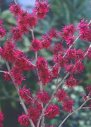 witch hazel plant info and pictures | WINTER FLOWERING ERICA GROWING HEATHER garden growing tips gardening ...