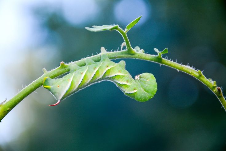 Tomato hornworms are some of the most common pests tomato growers have to contend with; fortunately, there are easy organic methods for controlling them.