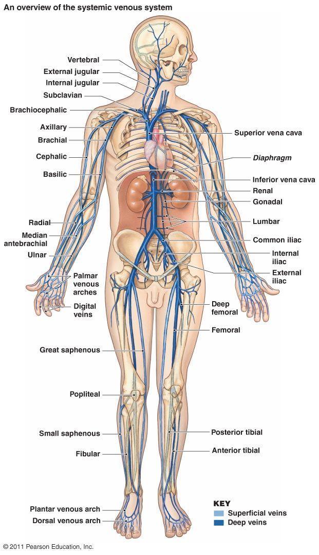 Major Veins Healthexercisetips Healthfoodtips Human Anatomy And Physiology Human Body Anatomy Body Anatomy