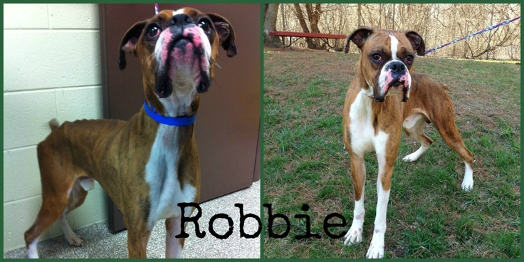 Robbie came to our Rochester Hills Center for Animal Care in pretty rough shape. He was severely underweight, had hair loss, and was bleeding from his muzzle, ears, and paws. In spite of his poor physical condition, Robbie was eager to show everyone his sweet and loving personality. Thanks to the care and dedication of our Rochester Hills shelter staff and veterinary team, Robbie is in much better shape and he still has a lot of love to give. He found his forever family on May 3!