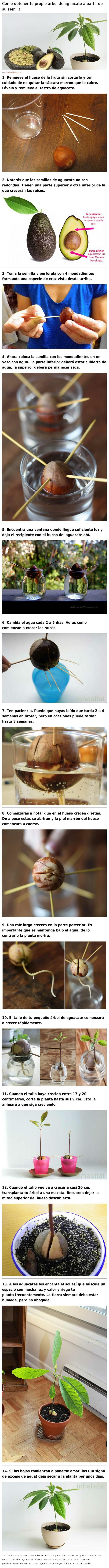 Obtene tu propio arbol de aguacate (palta)                                                                                                                                                                                 Más