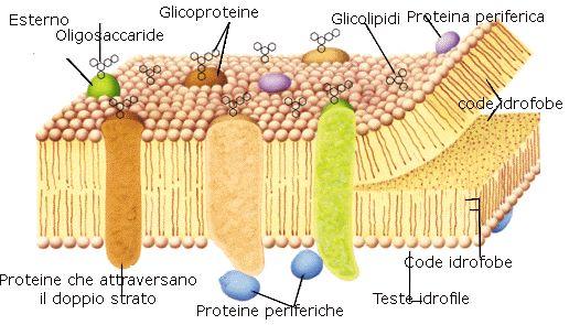 La costituzione della membrana plasmatica