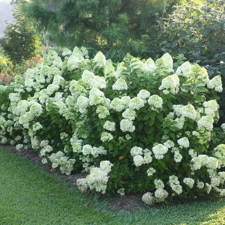 Little Lime™ Hydrangea.  Yorktown has a lot of these.  They are beautiful.