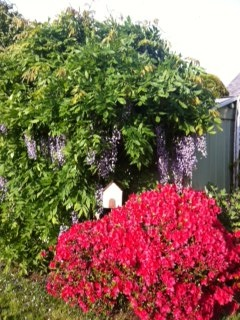 Spring flowers in a local garden - Wisteria and Azalea #flowers