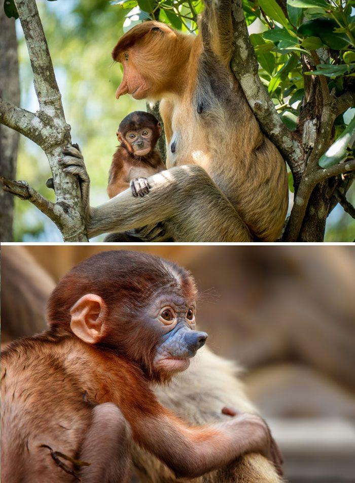 Bebé del mono de probóscide