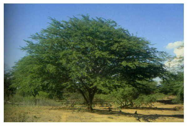 Flora chilena: Tamarugo. Uno de los pocos árboles que crecen en el desierto. Sus semillas se usan para alimento de animales.