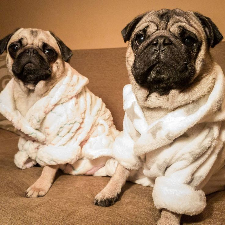 We've got a new bathrobe so I don't have to share mine any more  #mauricethepug #bubble #queenb #bathrobe #bathtime #bath #wetpug #clean #squeekyclean #puglife #pugchat #pugstory #cosy #mops #dog #pug #puppy #brother #sister #tirgumures #romania