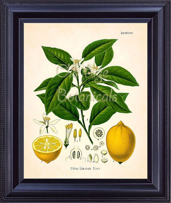 Lemon tree wall decor : Best dining room prints images on botanical