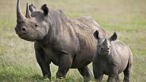 Resultado de imagen para rinoceronte