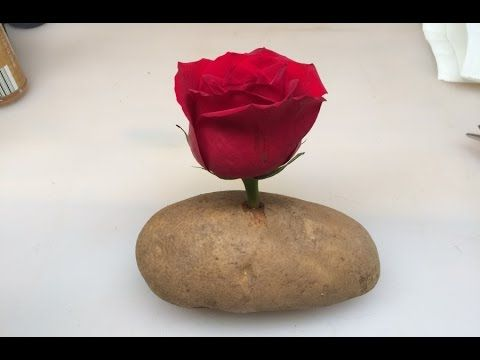This trick is amazing; Put the stem of a rose in a potato and you will not believe what happens - YouTube