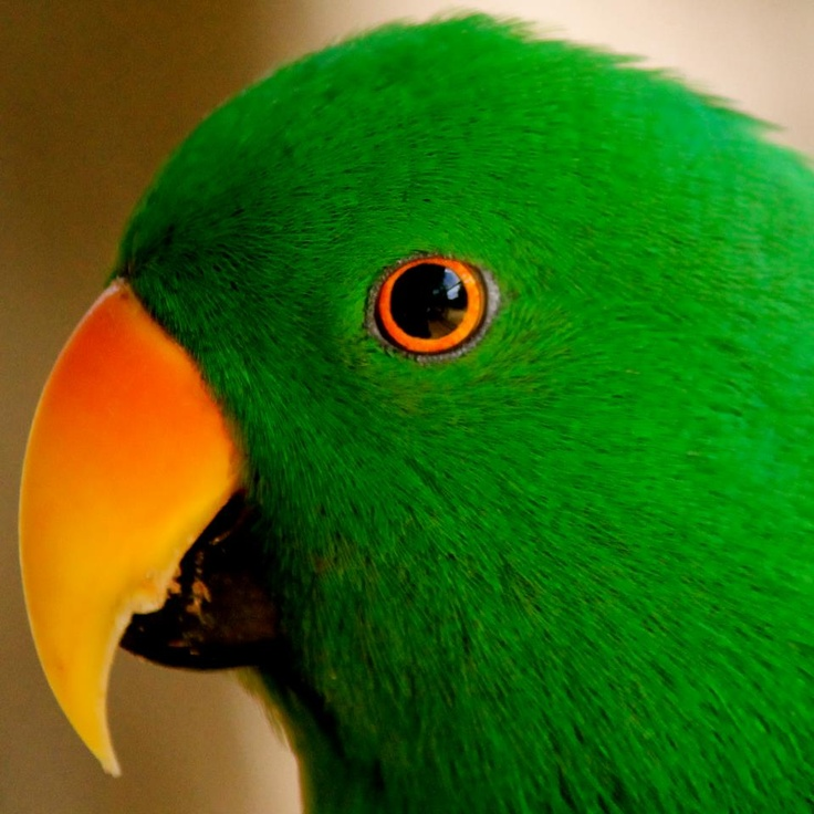 ECLECTUS PARROT male, endangered lives Cape York queensland Australia