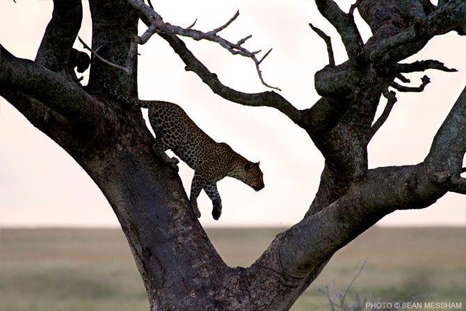 Leopard in Tanzania by Photographic Journalist Sean Messham