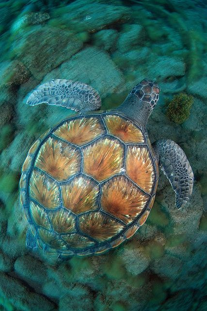 Sea turtle in Tenerife by Joaquin Gutierrez Fernandez on Flickr