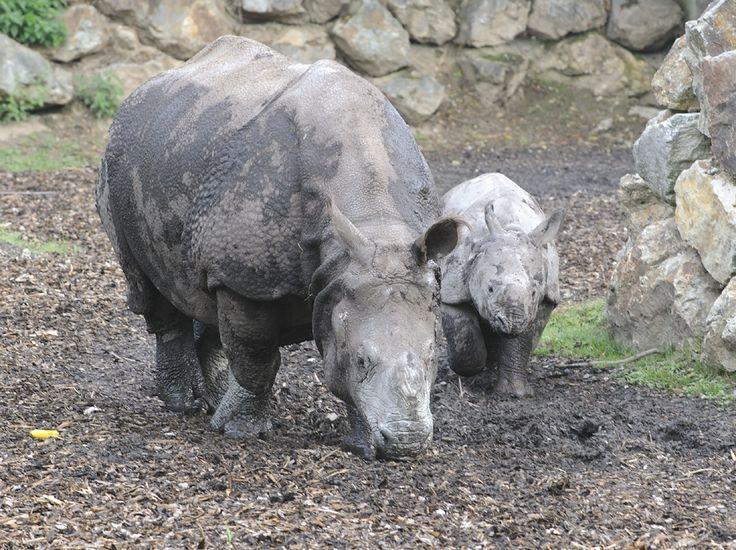 Koncem dubna čeká populární samičku nosorožce indického Marušku cesta do nového domova. Tím bude zoologická zahrada Touroparc ve Francii. Čeká tam na ni nový partner jménem Fanindra. Informoval o tom tiskový mluvčí Zoologické a botanické zahrady města Plzně Martin Vobruba.