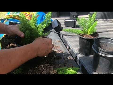 Propagate Foxtail Fern By Division Youtube In 2020 Foxtail Fern Plants Container Gardening